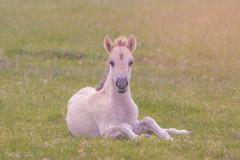 Konik-Fohlen in den Cuxhavener Kstenheiden (MaikeJanina) Tags: konik pferd konikpferd cuxhaven kstenheide heide wildpferd fohlen horse foal animal natur kstenheiden norddeutschland abendlicht naturlovers abendstimmung