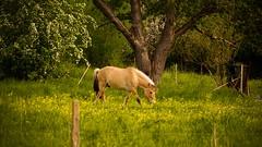 Cheval (Yasmine Hens) Tags: horse green nature cheval europa flickr belgium ngc namur hens yasmine wallonie iamflickr bauce flickrunitedaward hensyasmine