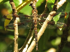 The Prince Is In Town (Gary Helm) Tags: camera usa tree nature water animal canon bug insect outside fly us wings backyard image florida dragonfly outdoor wildlife flight powershot photograph swamp ponds polkcounty lakewales sx60hs ghelm4747 garyhelm princebaskettails