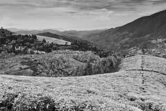 Tea plantation #1 (Der Berzerker) Tags: tea rwanda teaplantation nyungwenationalpark