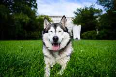 A happy one (ir0ncevic) Tags: park city dog pet smile grass smiling outdoors happy spring husky wide meadow sunny wideangle citydog