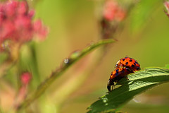 (zsolt75) Tags: nature hungary outdoor sigma ladybug 70300 canon100d