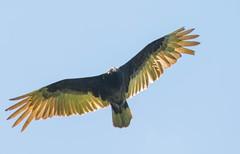 7K8A1333 (rpealit) Tags: bird nature creek turkey scenery wildlife blair vulture preserve