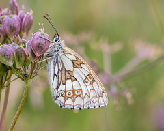 Draycote Meadows-12 (Andrew Haynes Wildlife Images) Tags: draycotemeadows marbledwhite warwickshire rugby insect