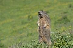 Alpine Marmot: Marmota marmota (renzodionigi) Tags: marmot rodentia marmotta sciuridae parconazionaledelgranparadiso marmotini