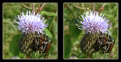 Mating Japanese Beetles on Thistle 2 - Crosseye 3D (DarkOnus) Tags: macro sex closeup insect lumix japanese stereogram 3d crosseye weed day pennsylvania thistle beetle panasonic stereo mating beetles japonica stereography buckscounty hump crossview popillia ihd hihd dmcfz35 insecthumpday darkonus