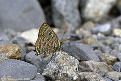 Hypochrysops pythias drucei (?) (Hiro Takenouchi) Tags: butterflies indonesia insect butterfly schmetterling papua wildlife lycaenid hypochrysops