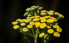 Tansy (hickamorehackamore) Tags: 2016 ct connecticut haddam nwf tansy backyard blossoms certified flowers habitat summer wildlife yellow