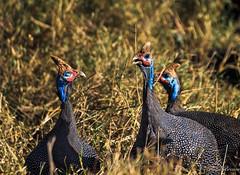 3 Guinea Fowl-2181 (floydbro) Tags: guineafowl tanzania