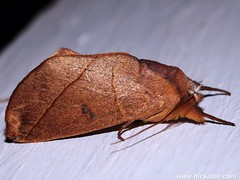Prominent Moth - Family Notodontidae (Dis da fi we) Tags: notodontidae prominentmoth moth puntagorda toledo belize lepidoptera insect nightflying hickateebelize hickateepuntagorda jungle rainforest forest wildlife culture cottages hickatee