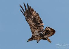 Juvenile Bald Eagle launch