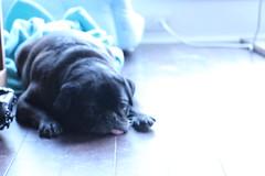 Hard day's work (CarlosPacheco) Tags: sleeping cute pug lazy pugs