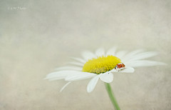 Lady & Daisy (guizhou2012) Tags: texture closeup nikon outdoor daisy ladybug postprocess softblur summerflower insectonflower memoriesbook magicunicornverybest