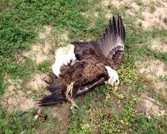 louisiana eagles lawenforcement usfws poisoning usfishandwildlifeservice ldwf deadeagles