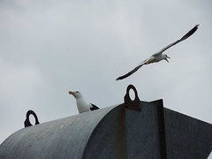 Get orf my land....... (crusader752) Tags: seagulls gulls divebombing