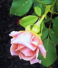 In the morning rain (MissyPenny) Tags: pink flower rose garden pennsylvania raindrops pdlaich