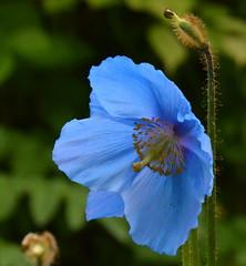 Meconopsis (chris p-w) Tags: blue poppy harlowcarr meconopsis fantasticflowers