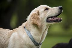 Yogi '15 (R24KBerg Photos) Tags: portrait dog pet cute animal goldenretriever canon puppy friend sweet yogi 2015