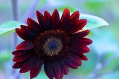 Black Sunflower (LarryJay99 ) Tags: sunlight color colors outside florida bokeh westpalmbeach sunflower canonefs60mmf28macrousm mountsbotanicalgardens fibonaccirules canonefs60mmf28macrousa