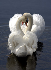 Swans in Love (klauslang99) Tags: lake ontario canada color love nature photography swans mute cygnus