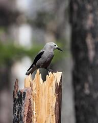 Clark's nutcracker, Nucifraga columbiana (jlcummins - Washington State) Tags: bird nature washingtonstate clarksnutcracker nucifragacolumbiana yakimacounty naturescarousel