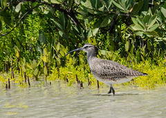 Whimbrel?? (dbking2162) Tags: beach nature water birds animal florida wildlife shore ft myers whimbrel