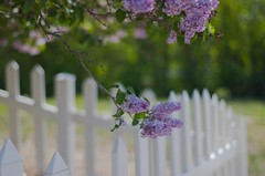 Lilacs and White Pickets (~DGH~) Tags: canada fence spring edmonton may alberta whitepicketfence lilacs 2016 fencefriday ~dgh~ smcpentaxda50mmf18 pentaxk50