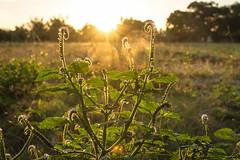 Grass (alvinpurexphotography) Tags: sun nature grass sunrise landscape oldhouse sunrays