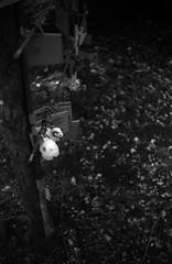 (sacred sheep) (Dinasty_Oomae) Tags: blackandwhite bw monochrome tokyo blackwhite shrine sheep    akabane kitaku       taiyodo taiyodokoki beautycamera  35 beautysuper35 35 beauty35super