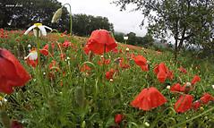 papaveri (hanabeldir [anna dir]) Tags: landscape may campo rosso rugiada maggio papaveri gopro