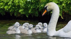 Maternal Lessons (Doyleecart Photography) Tags: school water sunshine canon fun spring cygnet wells somerset attention moat lessons mendip newlife bishopspalace outdorrs doyleecart