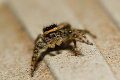 Springspinne - Jumping Spider (Matthi900) Tags: macro canon spider jumping spinne makro