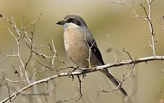 ALCAUDÓN REAL (Naturarem700) Tags: españa aves pájaros granada lazubia paseriformes alcaudónreal lanidae