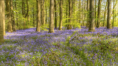 Spring At Last (darrenball189) Tags: wood uk flowers blue trees light england plant flower tree green english nature floral beautiful beauty grass bluebells rural forest woodland season landscape carpet outdoors countryside spring woodlands nikon scenery colorful purple natural bell vibrant seasonal scenic may peaceful tranquility sunny scene fresh foliage bloom wildflowers picturesque footpath bluebell idyllic scent springtime blooming 2470mm d7200