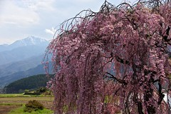 Cherry tree and mountain (tez-guitar) Tags: flower cherry spring pentax blossoms bloom cherryblossom sakura pentaxart