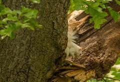 The Good News (114berg) Tags: tree illinois oak squirrel albino damaged geneseo 18june16