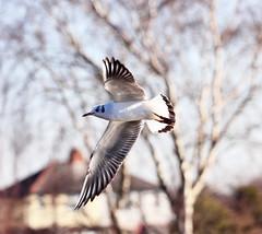 Black-Headed Gull (jdathebowler Thanks for 780,000+ views.) Tags: seagull gull seabird yeadontarn blackheadedgull autofocus greatphotographers