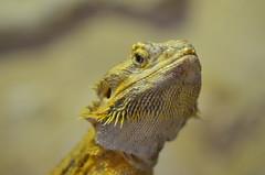 Godzilla look (dfromonteil) Tags: lizard lzard jaune ocre yellow macro bokeh look regard eye oeil animal nature
