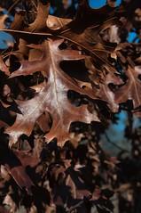 2016 Surviving Leaves (DrLensCap) Tags: park chicago fall robert nature colors leaves illinois village north center il kramer surviving