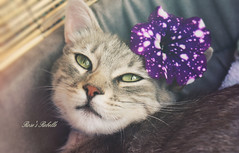 Rebelle (Rose*aime*OH! i'm late with all my comments sorry) Tags: cute love beautiful cat chat sweet petunia ilovemycat adoption straycat