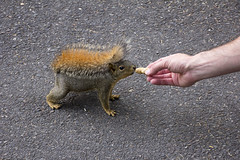2016-05-31 Feeding the Squirrel! (Mary Wardell) Tags: oregon canon portland squirrel hand peanut treat unusual unexpected 60d