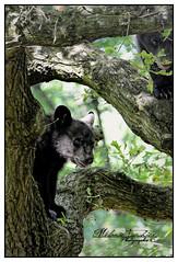 Cache Cache dans les arbres (orcamel30) Tags: safari peaugre ours zoo ourson cacher arbres grimper voiture parcours nature surprise nikon d7100 55300 hauteur