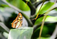 The fascination of butterflies (Blickwinkel Fotoart - Jochen Hayna) Tags: butterfly schmetterling insel mainau bodensee island lake germany animals green plants pflanzen nikond800 tamron70200 tamron nikon flgel schmetterlingshaus vacation holiday insects insekten