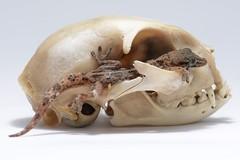 DOMINIO (josema Martn fotografia) Tags: peninque macro estudio strobist cabeza gato calavera reptil josemamartinfotografia todolosderechosreservados