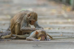 Lazy Hour II (Showkat.Shuvro- ) Tags: nature monkey bangladesh wildlifephotography sundarban explorebangladesh karamjol showkatshuvro