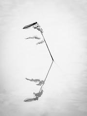 Mirrored (BW) (RGaenssler) Tags: tiere arthropoda insekten calopteryx odonata insecta zygoptera libellen calopterygidae hexapoda pterygota bandeddemoiselle calopteryxsplendens kleinlibellen gebnderteprachtlibelle floraundfauna fluginsekten caloptryxclatant tracheentiere tracheata calopterygoidea gliederfser sechsfser prachtlibellen caloptryxspendide