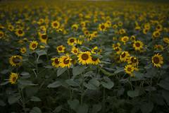 Wet day (RenField - Toel-ul Laputa) Tags: summer flower green art nature japan 50mm nikon sigma kagoshima rainy sunflower      jpn kyusyu     kirishima      d800e