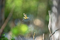 A tiny dragonfly (JPShen) Tags: green yellow dragonfly bokeh tiny