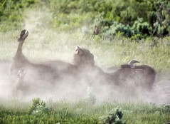 BisonDirtBathVig (MrDennisO) Tags: bull yellowstone bison dirtbath