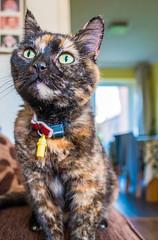 Smudge (June 2016) (2) Fuji X70 Compact) (1 of 1) (markdbaynham) Tags: pet cute animal cat prime feline fuji 28mm smudge fujinon f28 compact x70 apsc fujix 16mp transx